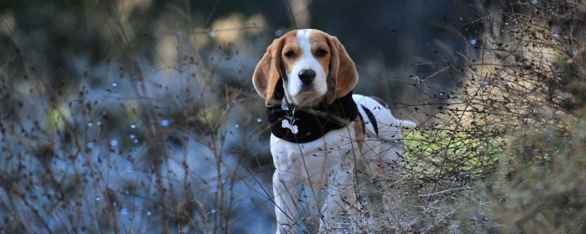 Beagle Walk